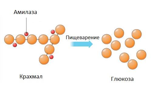 Что такое альфа амилаза в анализе крови повышены